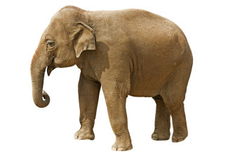 An Asian elephant: they are the closest genetic relative of the mammoth.