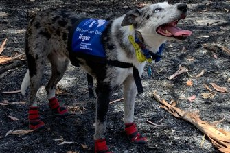 Bear at Cooroibah on the Sunshine Coast last month. He wears protective socks when searching scorched bushland.