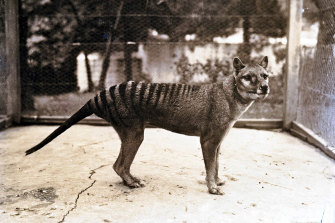 Benjamin, the last thylacine, at Hobart Zoo in 1933.