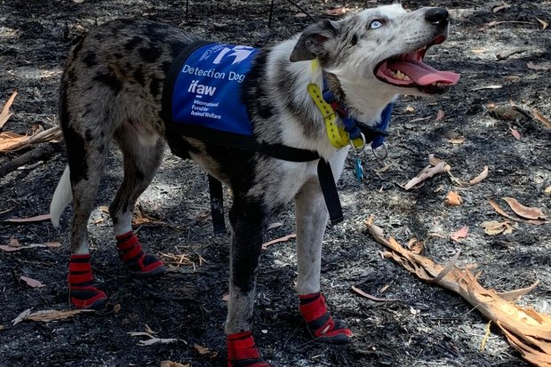 Meet Bear, a dog that searches scorched bushland for fire-surviving koalas