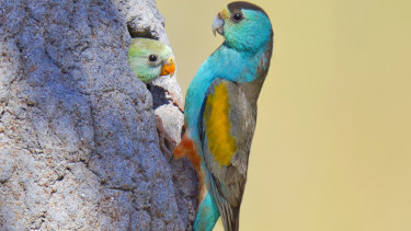 """A plan to clear about 2000 hectares at Cape York would threaten the """"highly endangered"""" golden shouldered parrot, internal government documents show."""