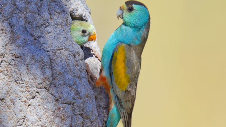 Endangered: Golden-shouldered parrots in a termite mound in Cape York.