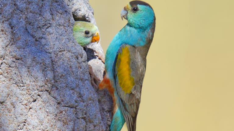 Endangered: Golden-shouldered parrots in a termite mound in Cape York.