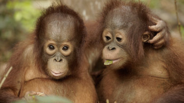 Cameras follow 68 young orangutan students at the school as they go about their daily lessons.