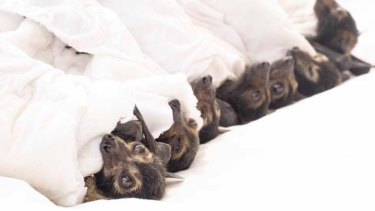Wildlife volunteers were stretched thin, as they were already caring for 500 flying foxes in care when the mass die-off occurred.
