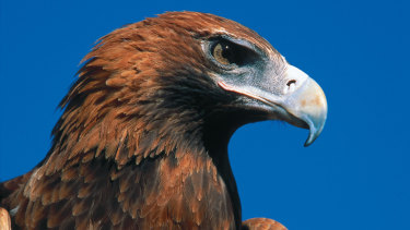 A wedge-tailed eagle.
