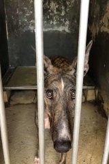 An abandoned greyhound.