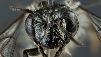 'Extinct' broad-headed bee found in Perth's northern suburbs