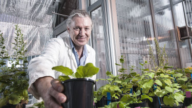 "QUT Professor Peter Waterhouse with some of the ""benth"" plants that can produce custom proteins for use in vaccines."