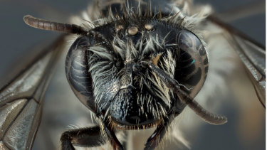 The Hesperocolletes douglasi bee was thought to be extinct.
