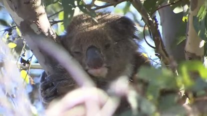 Teenager charged over theft of Orana the koala from Adventure World