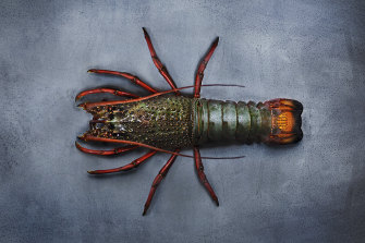 Eastern rock lobster.