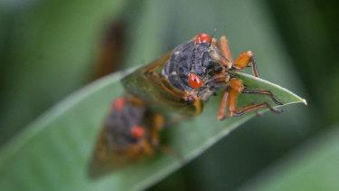 A periodical cicada in a garden in Lawrence, Kansas.