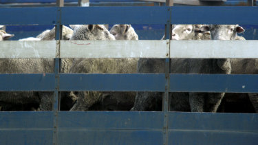 Sheep awaiting transport on the Al Kuwait live export ship.