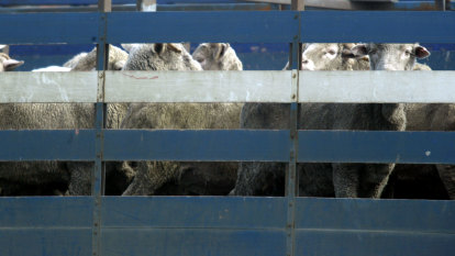 Exempting Al Kuwait live export ship will breach heat rules: Climatologist