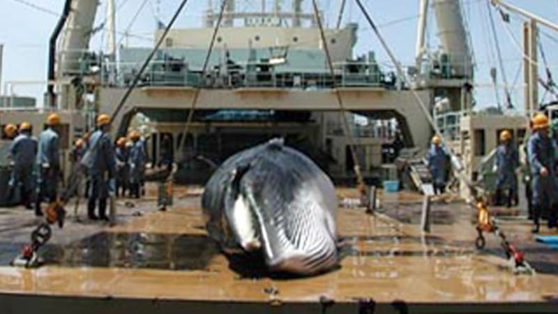 an overview of the controversial practice of commercial whaling This article discusses the history of whaling from prehistoric times up to the commencement of the international whaling commission (iwc) moratorium on commercial whaling in 1986.