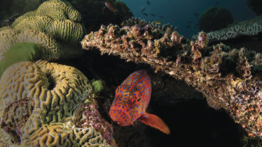 A coral trout in the Great Barrier Reef.