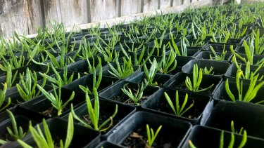 Button wrinklewort baby plants
