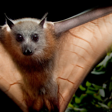 A single bat can scatter 60,000 seeds in one night, aiding the ecosystem.