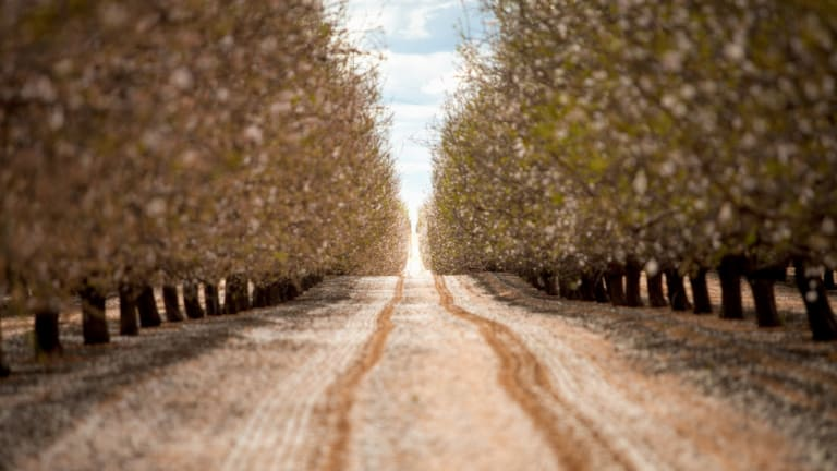 Almond plantations rely on bees for pollination.