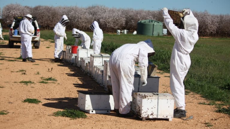 Beekeepers make around $100 per hive to rent them out for pollination.