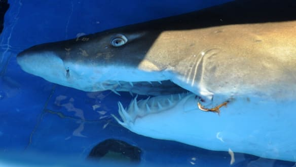 Grey nurse shark responsible for attack on WA bodyboarder