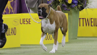 No-nonsense: Wilma, a boxer, competes with the working group.