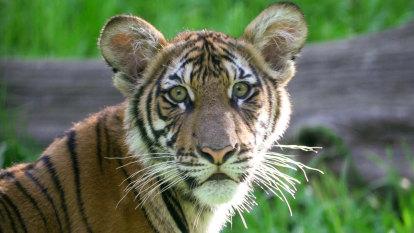 Tiger tests positive for coronavirus at New York's Bronx Zoo