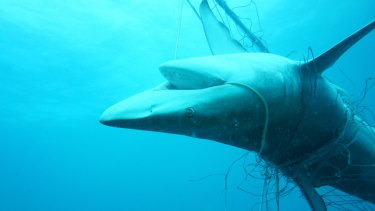 A dead dusky whaler shark entangled in nets off Seven Mile Beach in Lennox Head last December.