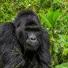 Hunters face life sentences after killing famous gorilla