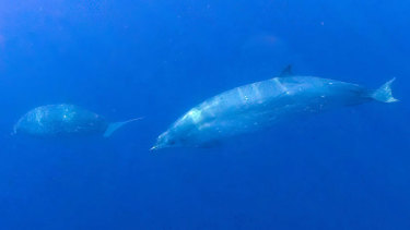 Possibly a new species of beaked whale discovered off the west coast of Mexico.