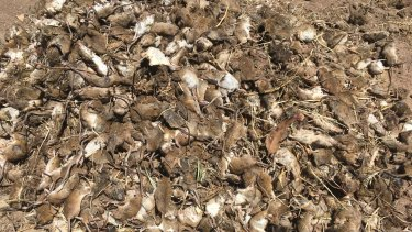 NSW Farmers say the bill for the mouse plague might top $1 billion