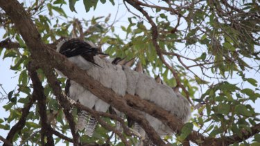 No laughing matter: Kookaburras gather on a single branch at Avalon on Sydney's northern beaches.