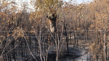 Koalas are quick to climb up the top of trees to escape flames, according to Ms Barrow.