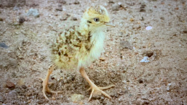 Four plains-wanderer chicks have been born in captivity in Victoria.