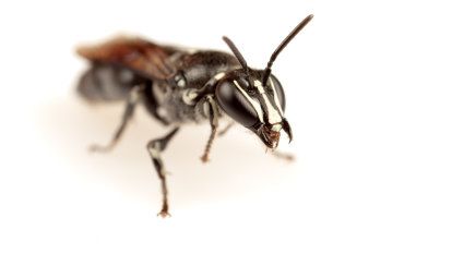Scientist abuzz as bee thought 'extinct' for 100 years lands near him