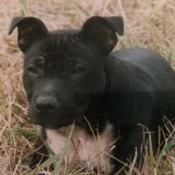 Ms Bambrick's staffy Bennie who had to be put down as a result of the Brisbane floods.