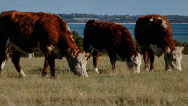 Free-range Hereford cattle grazing on pasture at French Island in Western Port Bay.