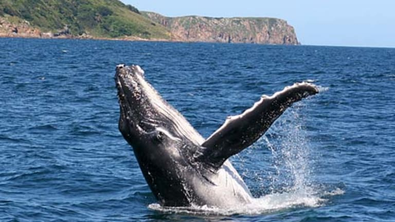 A humpback whale calf breaches off an east coast headland.