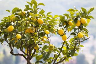 A few weeks later the tree started growing enormous glowing urine-yellow lemons that nobody wanted to eat.
