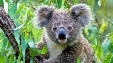 A local planning panel has been accused of failing to consider koala habitat in approving a major residential development in Sydney's south-west.