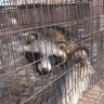 Luxury Australian brand found selling fur from often-tortured raccoon dogs