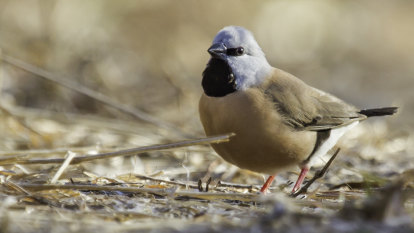 Adani's own count of endangered bird at mine shows 'shocking' drop