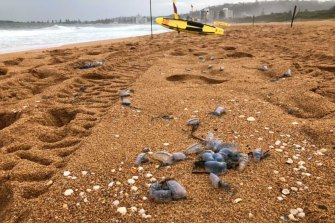 Bluebottles have invaded the NSW coast.