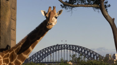 Giraffes with their view at Taronga Zoo in 2002.