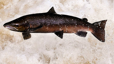 About 250 tonnes of salmon were stolen from a processing plant in Sydney.