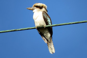 Joke's on you: a laughing kookaburra.