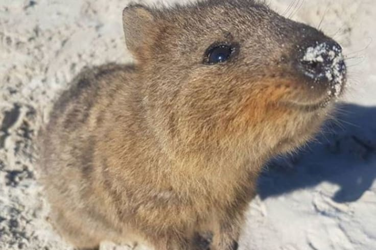 I love quokkas. Just not on my table.