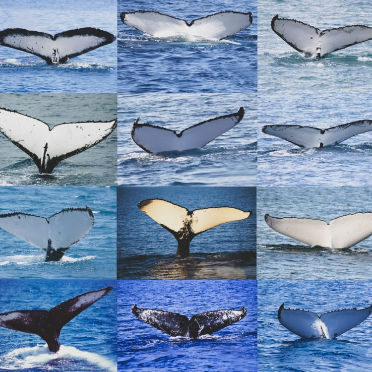 The patterns on a tail, known as a fluke, are unique to each whale. Trish Franklin can identify every individual humpback whale that comes to Hervey Bay.