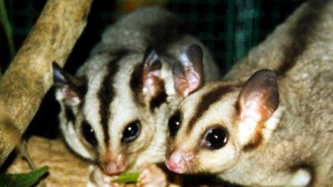 The endangered mahogany glider in northern Queensland.